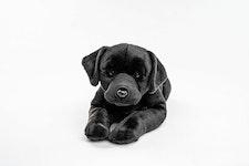 Hund Labrador XL