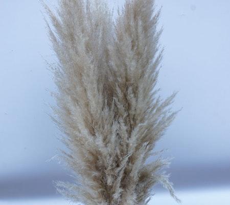 Fluffig pampasgräs, 110 cm