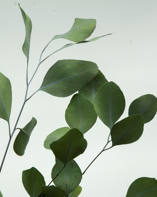 Eucalyptus populus, grön