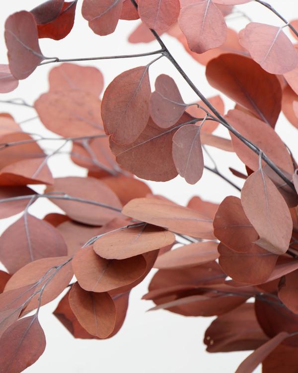Eucalyptus populus, röd