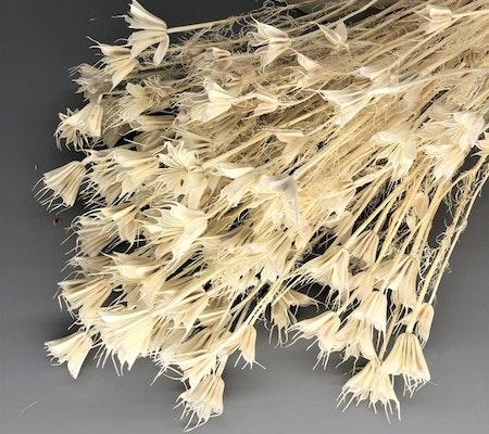 Nigella orientalis, blekt vit