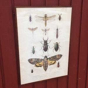 Insekter poster - 50x70 cm