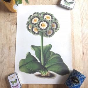 Primula poster - 35x50 cm
