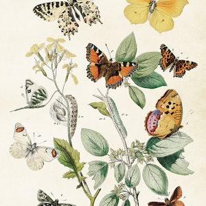 Fjärilar poster - 50x70 cm
