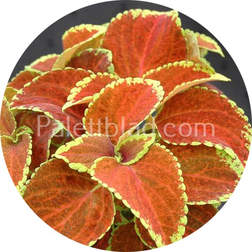 Fairway Orange 10 frön