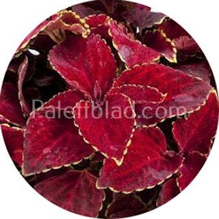 Fairway Red Velvet 10 frön