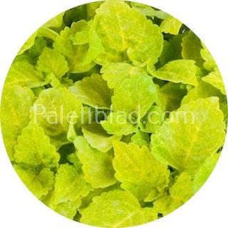 Fairway Yellow 10 frön