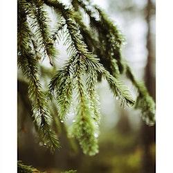 Skogspärlor