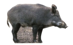 Vildsvin - Naturlig storlek