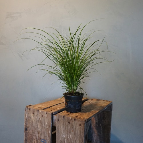 Carex gräs