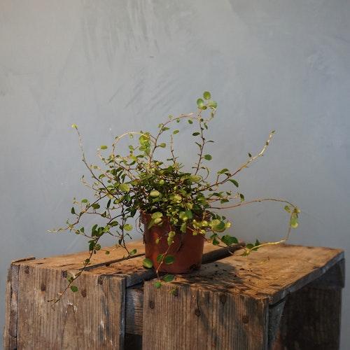 Plättar i luften, Muehlenbeckia