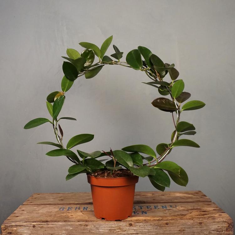 Porslinsblomma Hoya Australis olika storlekar