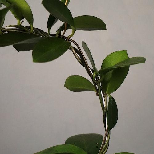 Porslinsblomma Hoya Australis