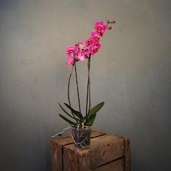 Brudorkidé Phalaenopsis Kampanj