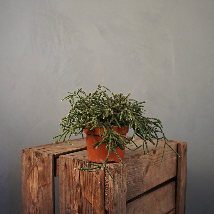 Ullbärskaktus Rhipsalis