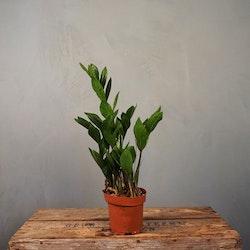 Garderobsblomma Zamioculcas Zamiifolia