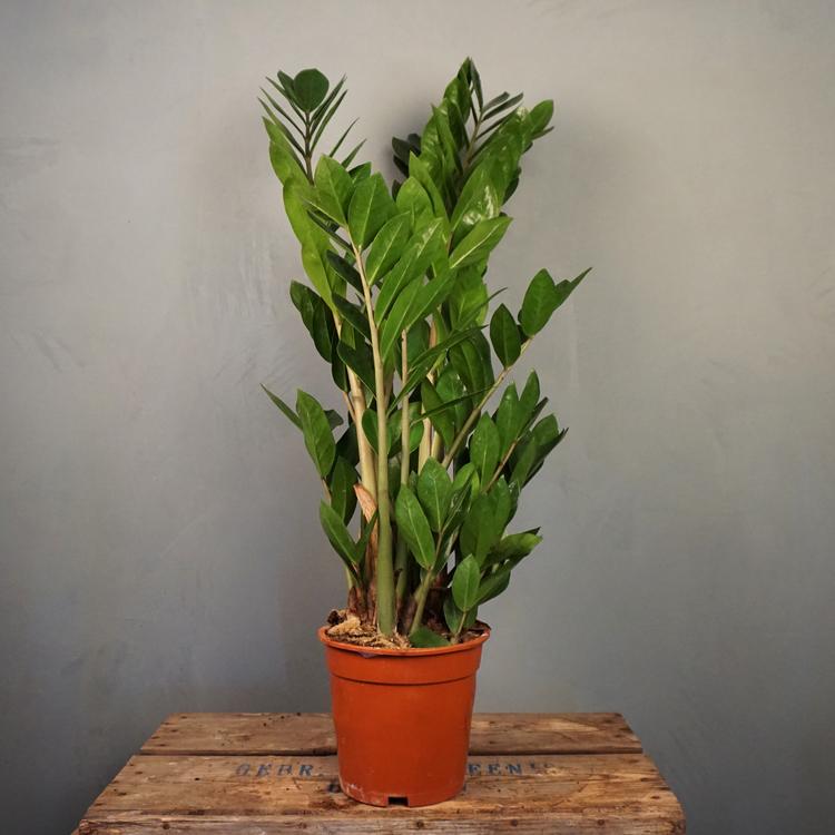 Garderobsblomma Stor Zamioculcas Zamiifolia