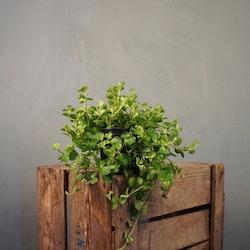 Linspeperomia Rotundifolia