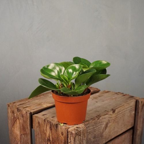 Fredsgrönska Peperomia Obustifolia Green