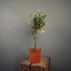 Olivträd 50 cm Annonsvara
