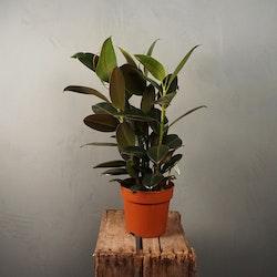 Fönsterfikus Ficus Elastica Robusta