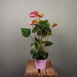 Rosenkalla Anthurium Lila