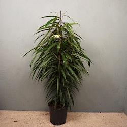Bambufikus Ficus Alii