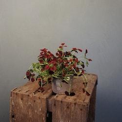 Vitklöver Trifolium Repens olika sorter