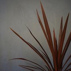 Syddracaena Dracaena 'Red star'