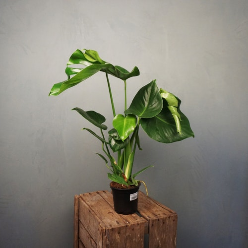 Monstera Deliciosa Kampanj