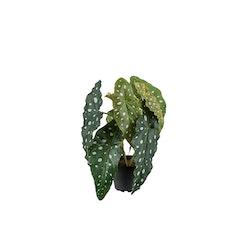Forellbegonia Siden 30 cm