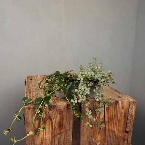 Mini hängväxter 6 cm kruka