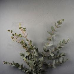Eucalyptus bunt