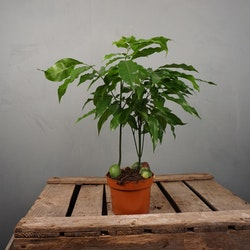 Bönträd Castanospermum australe