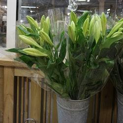 Liljor Vita Longiflorum Trumpetlilja 3-pack