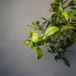 Kaffir Lime Citrys hystrix