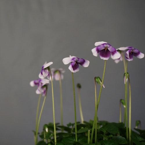 Ampelviol Viola hederacea