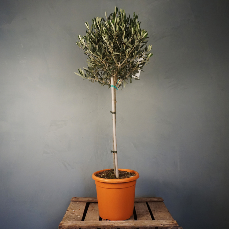 Olivträd 100 cm