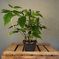 Syngonium Podophyllum Trileaf