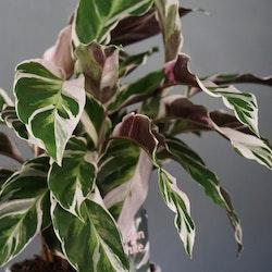 Calathea White fusion