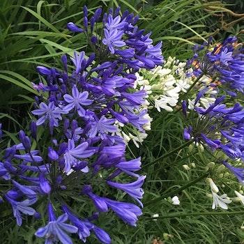 Vinterhärdig Agapanthus blå