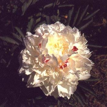 P. lactifl. Couronne