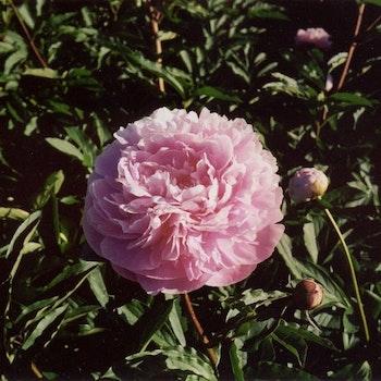 P. lactifl. Sarah Bernhardt