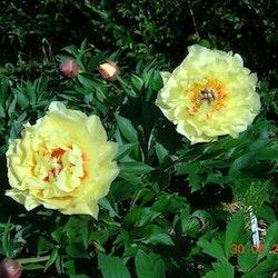 P. Itoh-hybrid. Garden Treasure