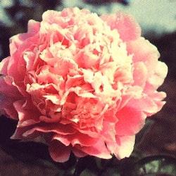 P. lactifl. Pink Parfait
