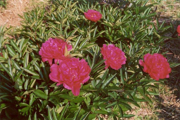 P. lactifl. Kansas