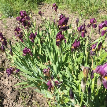 Iris. hyb. (81125) Mörkt blåviolett