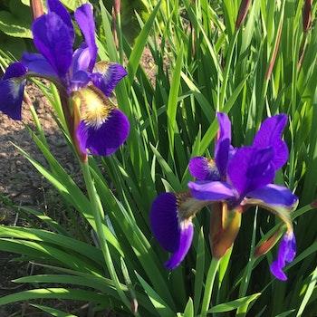 Iris. hyb. Sibirica Blå