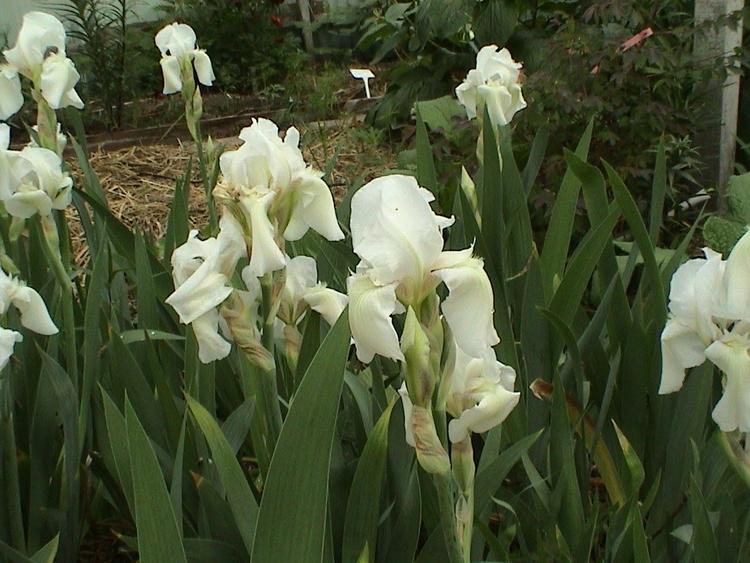 Iris. hyb. (81135) Vit
