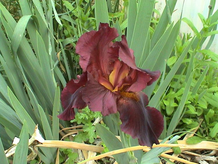 Iris. hyb. Hells Fire